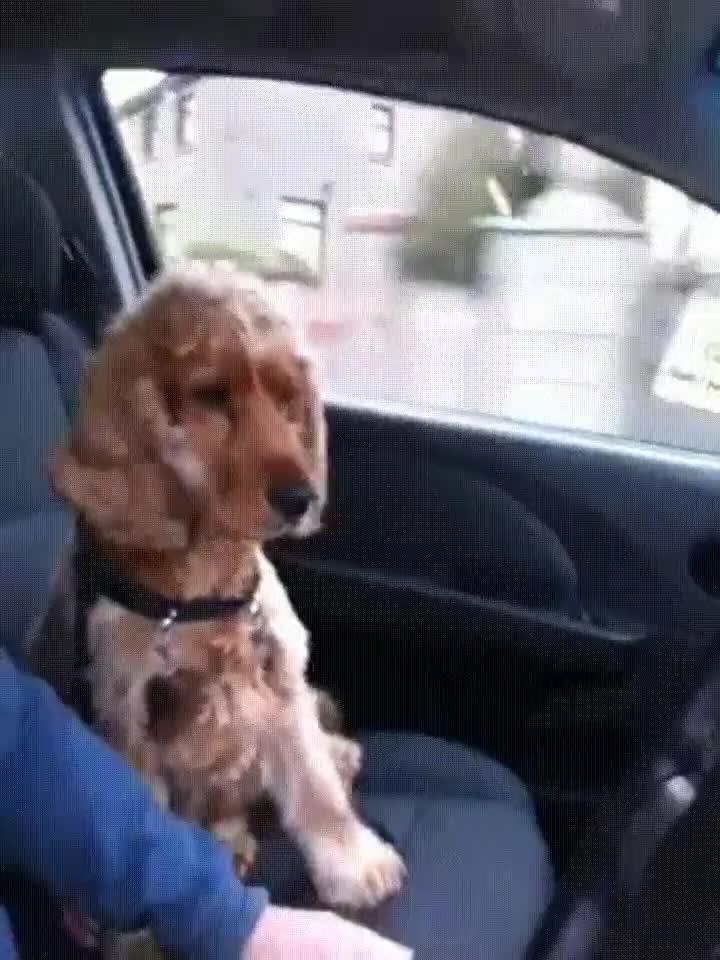Enlace a Perro que no te deja conducir si no le sujetas la mano