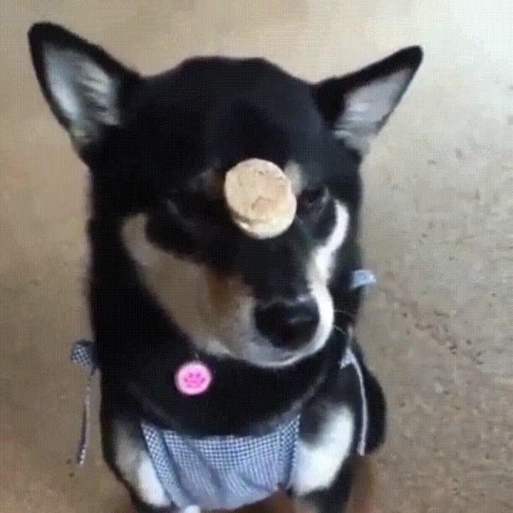 Enlace a Perro entrenado para comerse sus galletas con estilo