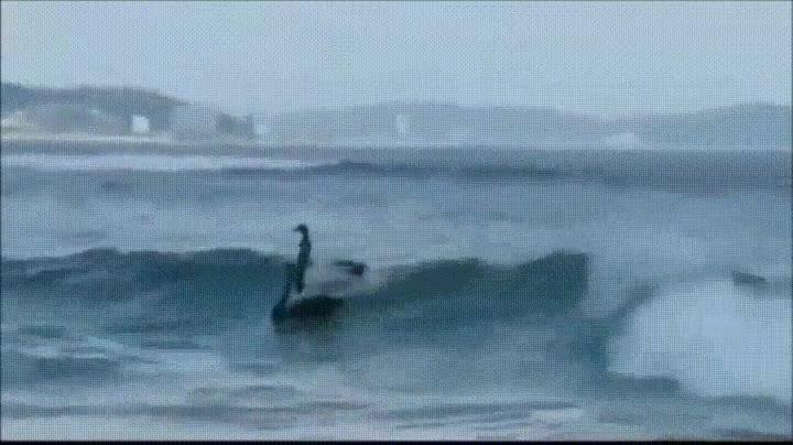 Enlace a Cisnes surfeando. Creo que ya lo he visto todo