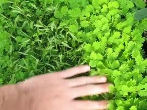 Enlace a Plantas sensibles que reaccionan con el contacto humano