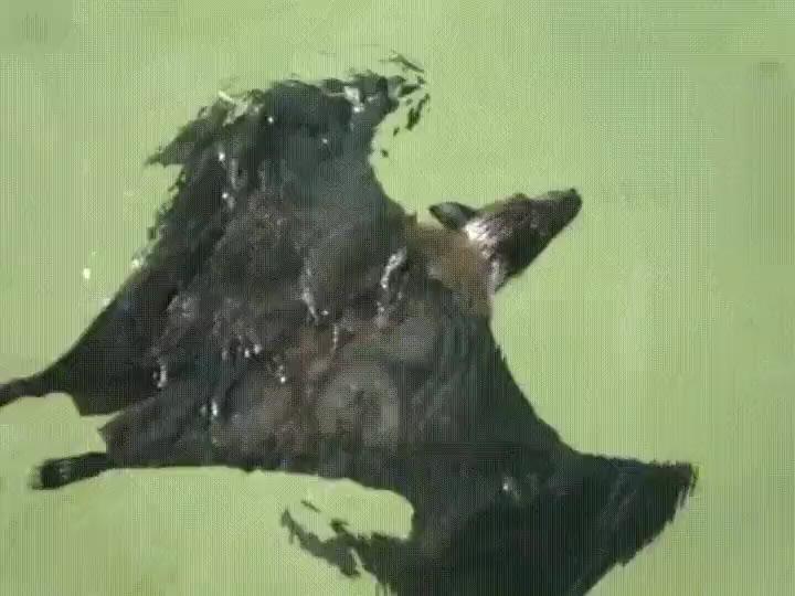 Enlace a Murciélagos aficionados a la natación que deciden hacer unos largos
