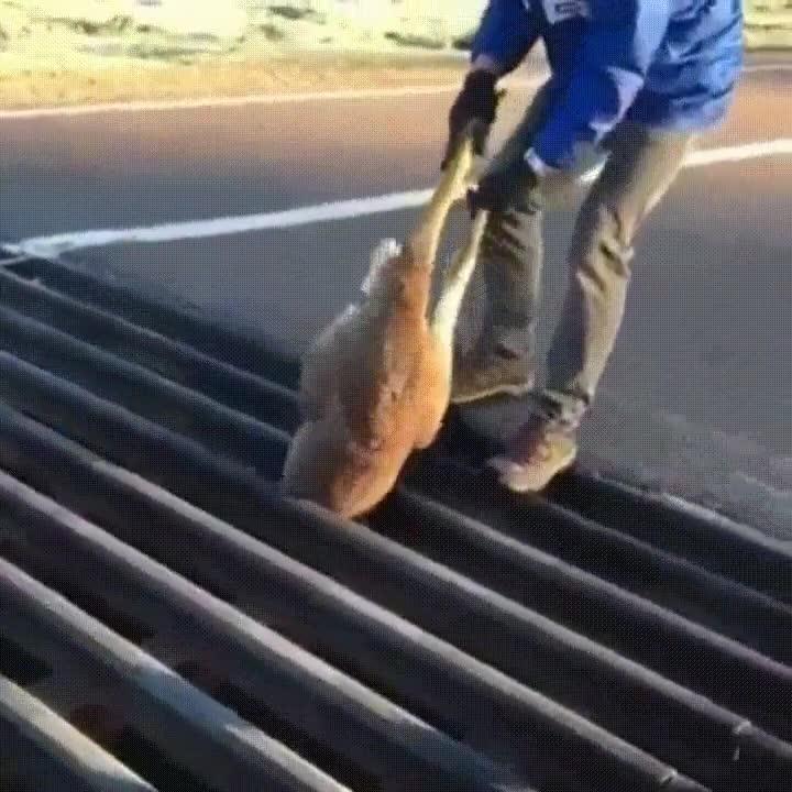 Enlace a Salvando a un canguro atrapado. Fe en la humanidad restaurada