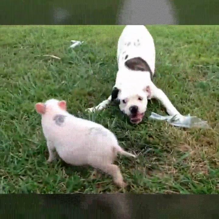 Enlace a Perros y cerdos son capaces de ser buenos compañeros de juegos