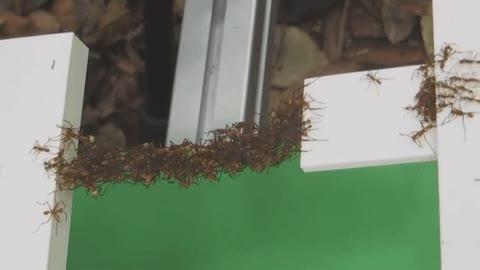 Enlace a Puente creado por las hormigas que han visto Guerra Mundial Z