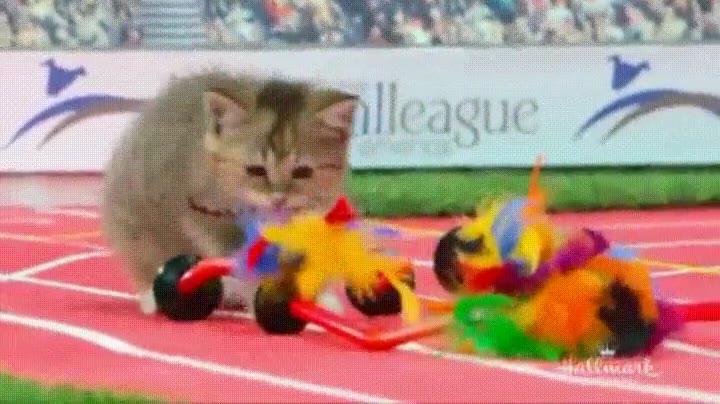 Enlace a Olimpiadas para gatos. El evento deportivo más adorable del año