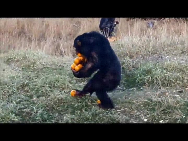Enlace a Chimpancé demostrando cómo se pueden llevar un montón de naranjas en un solo viaje