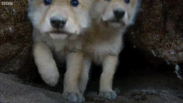 Enlace a Cachorros de lobo investigando una misteriosa cámara