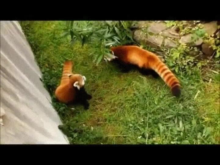 Enlace a Explosiones invisibles, el gran peligro para los pandas rojos