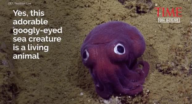 Enlace a El calamar más adorable del mundo
