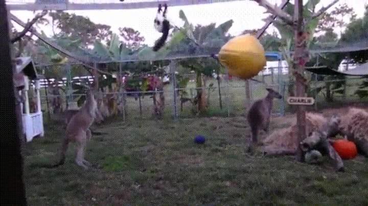 Enlace a Recuerda que nunca debes cometer la insensatez de meterte con un canguro