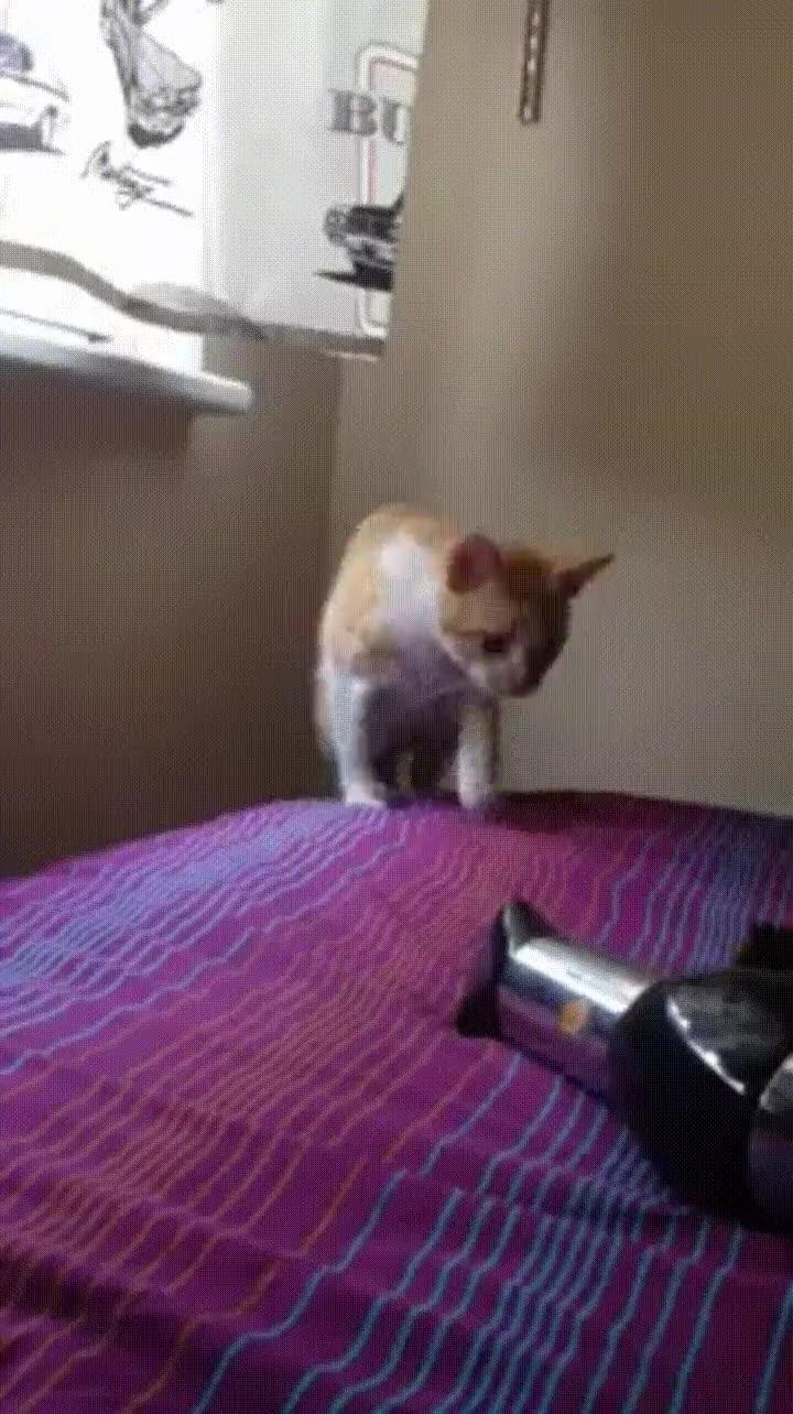 Enlace a Gatos y secadores nunca se levarán bien