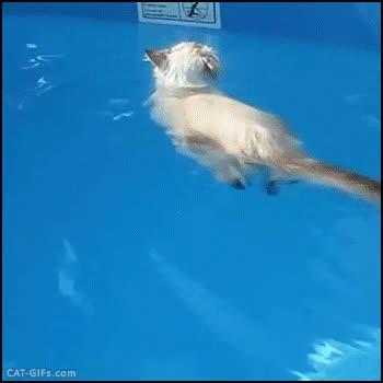 Enlace a ¿Quién dijo que los gatos no sabían nadar?