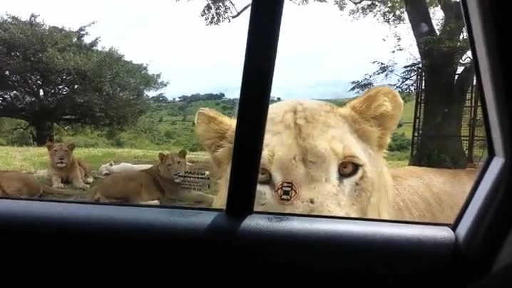 Enlace a Regla número 1 de un safari: cierra siempre las puertas de tu coche