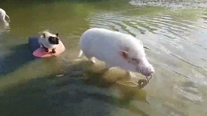 Enlace a Dos cerdos rescatando un pobre gatito
