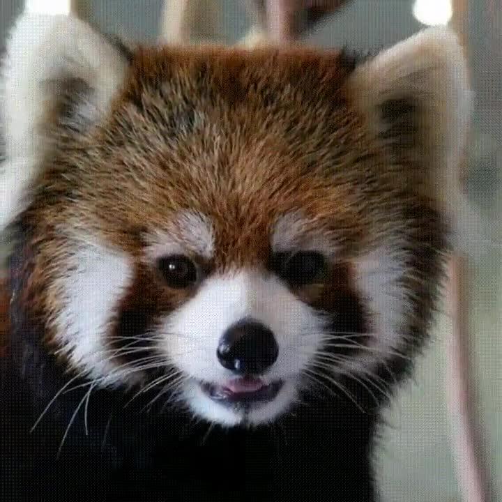 Enlace a Ejemplar de Panda Rojo que ha nacido para ser modelo