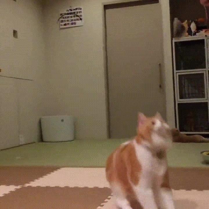 Enlace a El hipnótico salto de un gato a cámara lenta