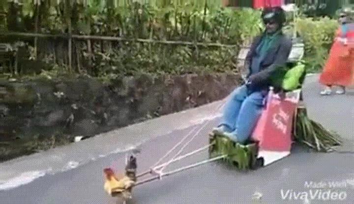 Enlace a Con todos ustedes: la gallina más fuerte del mundo