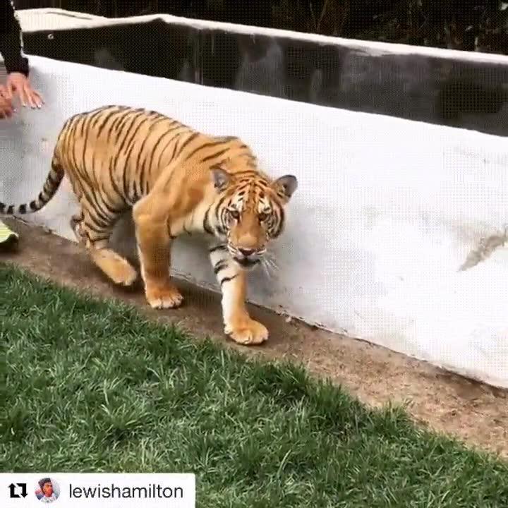 Enlace a Cuando tienes valor para darle un susto a un tigre