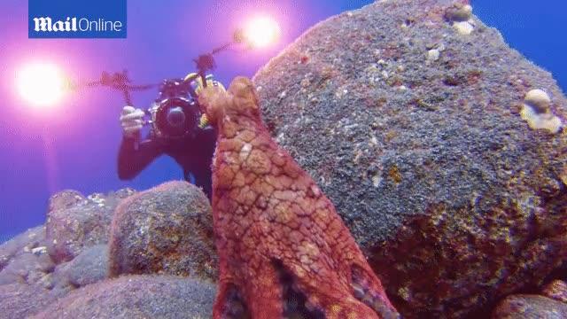 Enlace a Pulpo jugando al escondite con un submarinista