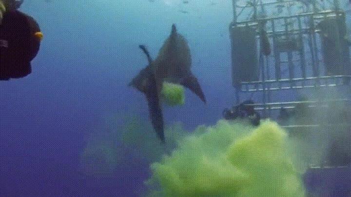 Enlace a El Gran Tiburón Blanco tiene una extraña manera de decir hola