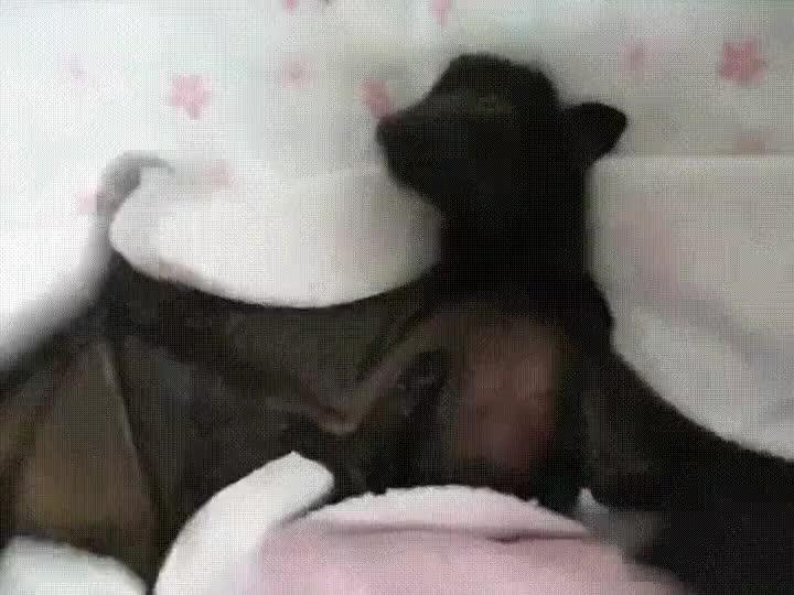 Enlace a Murciélago dando aplausos mientras duerme la siesta