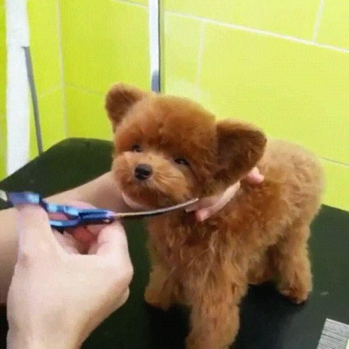 Enlace a Perros que parecen osos de peluche