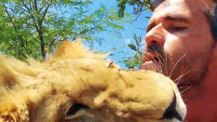 Enlace a El rey de la selva. Y el rey de las caricias también