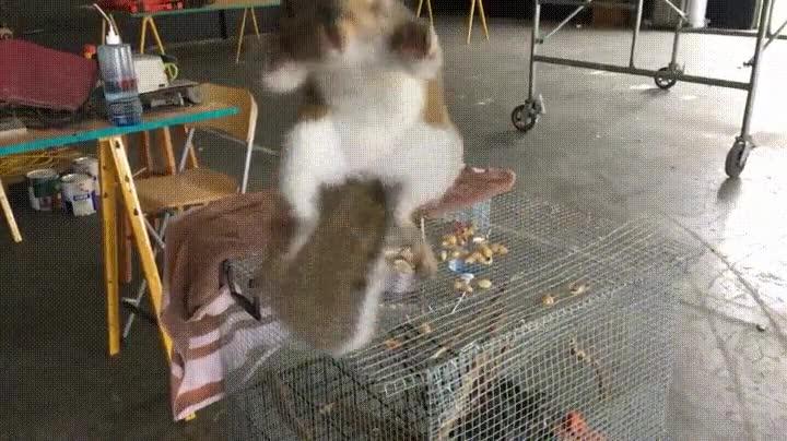 Enlace a Ardillas practicando el salto del tigre en tu cara