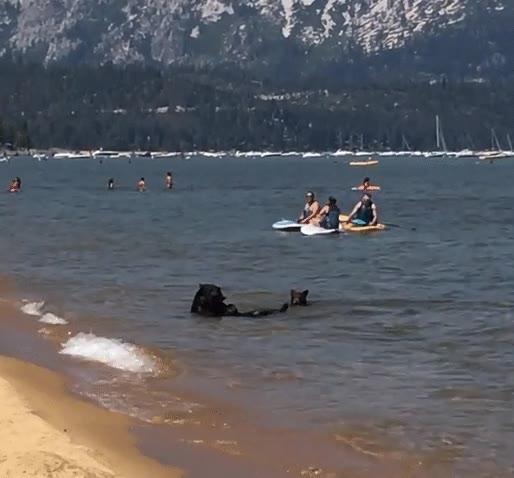 Enlace a Osos disfrutando de un tranqilo día de playa en familia
