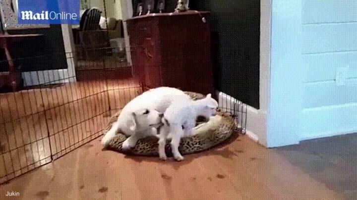 Enlace a Un cachorro de Golden Retriever conociendo a una cabra de tan solo 4 días