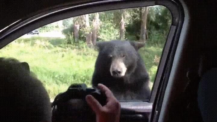 Enlace a Nunca te olvides que los osos son capaces de abrir la puerta de cualquier coche