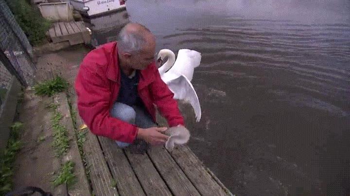 Enlace a Intentando rescatar a un pequeño cisne pero no se lo ponen fácil