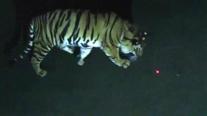 Enlace a A los gatos grandes también les gustan los puntos láser