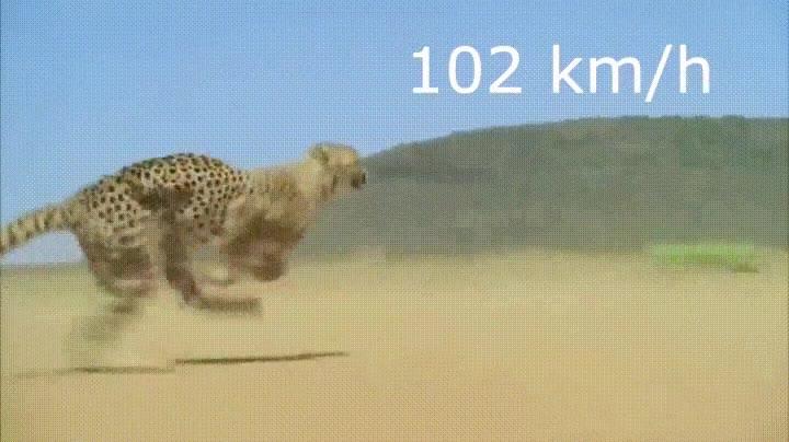 Enlace a El animal terrestre más rápido en todo su esplendor