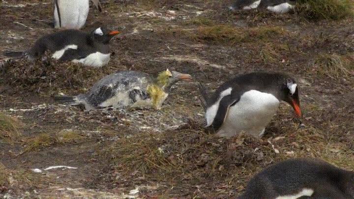 Enlace a Si crees que te ha tocado un mal vecino piensa en la pobre suerte de este pingüino