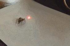 Enlace a Arañas que también se sienten atraídas por los punteros láser