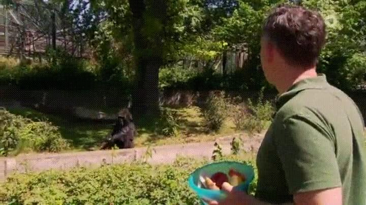 Enlace a Gorilas hartos de que les tiren cualquier cosa