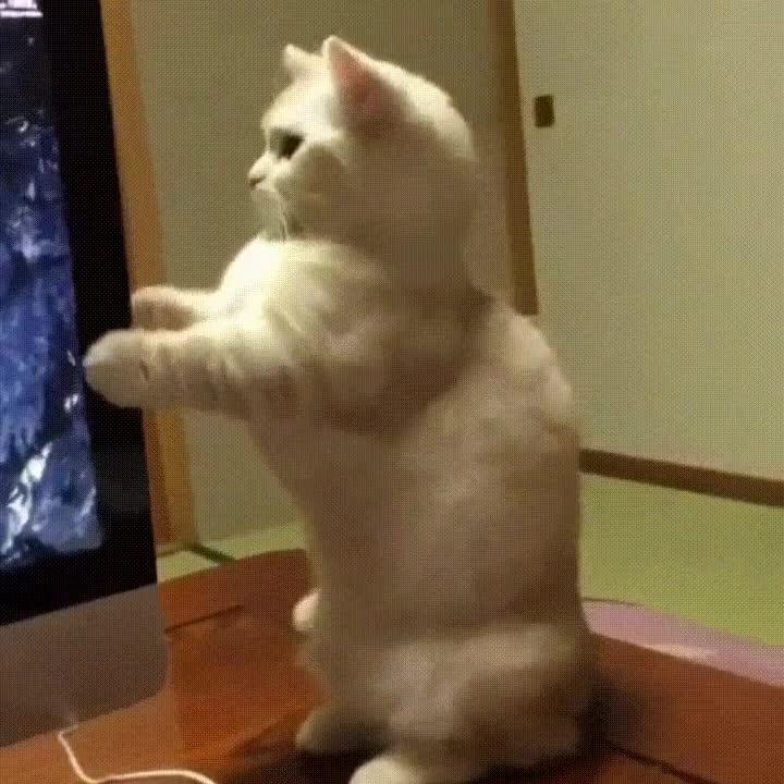 Enlace a Gatos que se siguen maravillando con los lectores de DvD