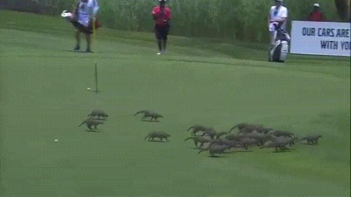 Enlace a Mangostas invadiendo un campo de golf a mitad de un torneo