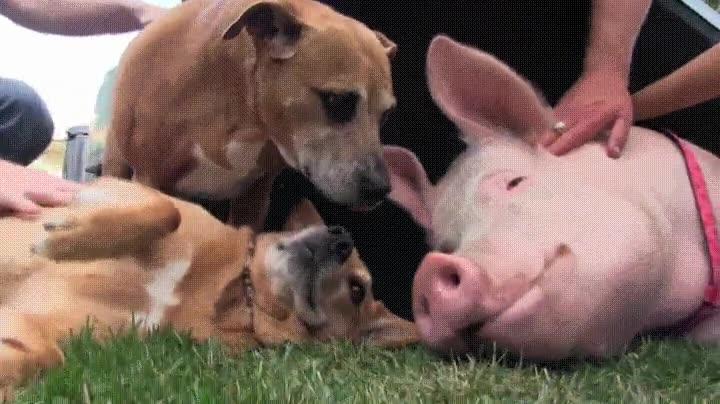 Enlace a Cerdo perfectamente integrado en una familia de perros