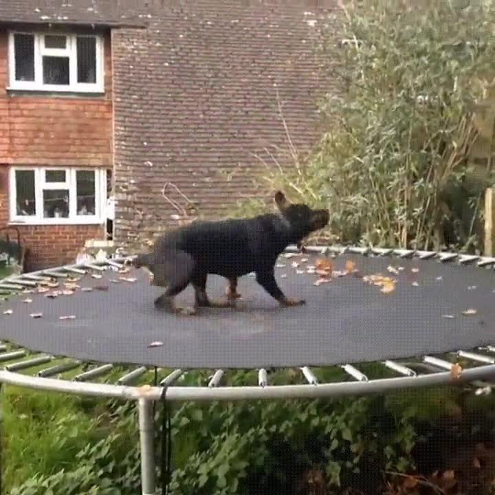 Enlace a Sube a tu perro a un trampolín. Tendrás risas aseguradas y se lo pasará de miedo