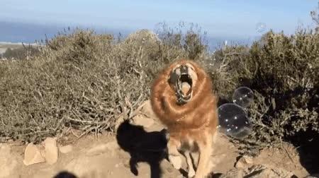 Enlace a Perro haciendo cosplay de un león comiendo burbujas