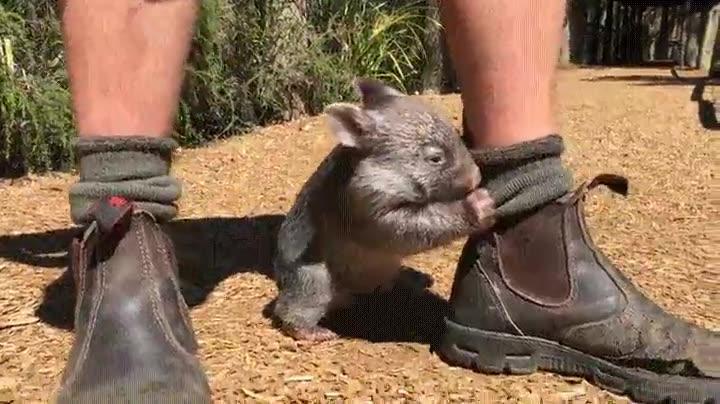 Enlace a Un Wombat puede ser la mejor mascota que puedes tener