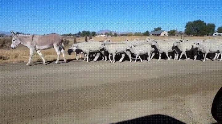 Enlace a Burros que en otra vida fueron pastores