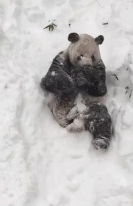 Enlace a Hay pocas cosas más adorables que un panda jugando en la nieve