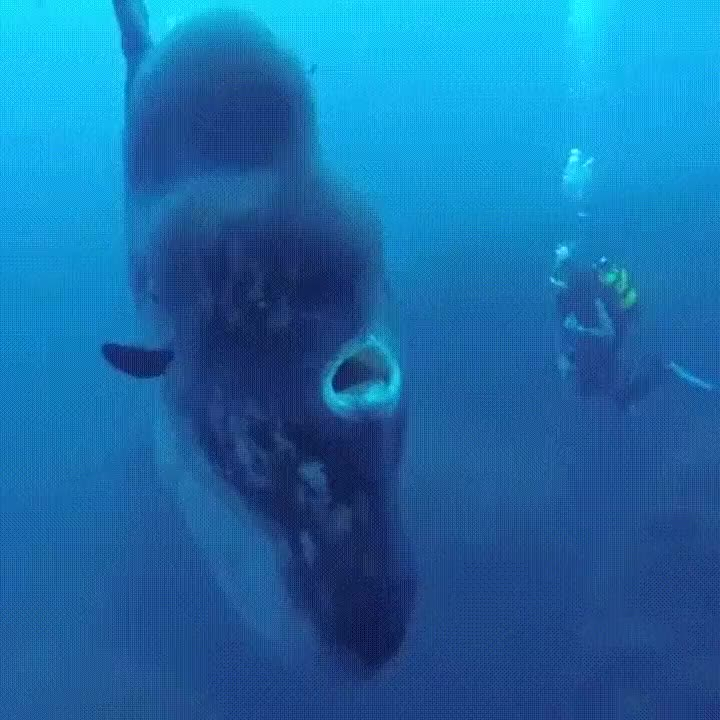 Enlace a Nadando con un Mola Mola, el pez más grande del mundo