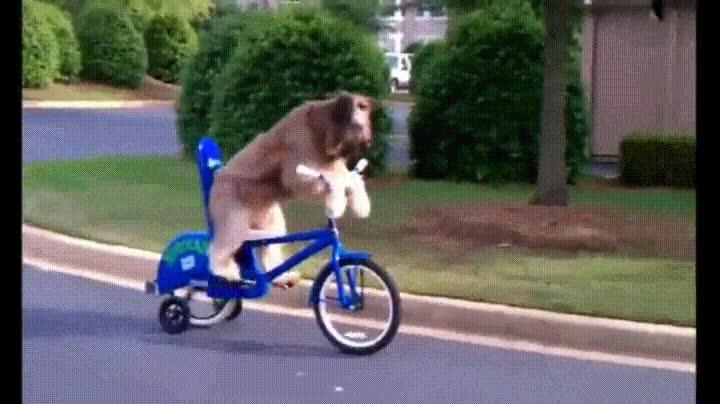 Enlace a Demostrado: los perros también son capaces de ir en bici