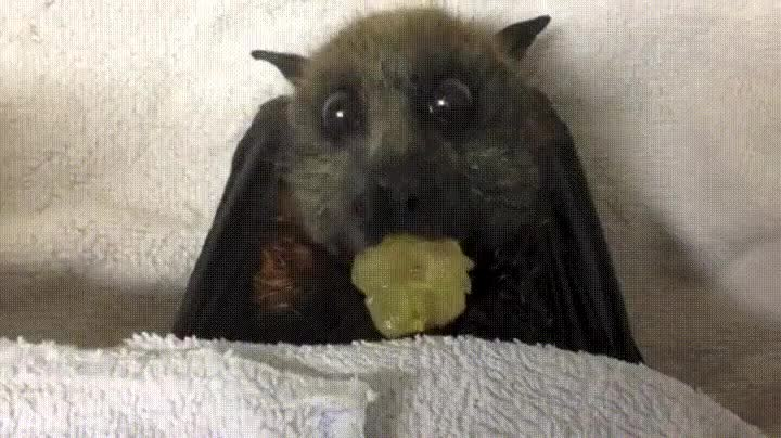 Enlace a Murciélago comiéndose un trozo de uva de la forma más adorable