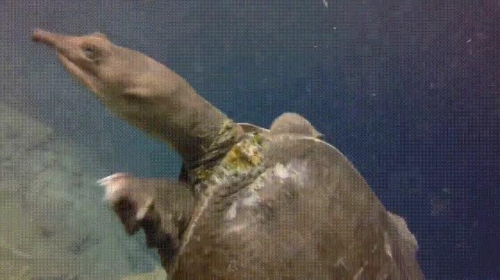 Enlace a Seguro que es la primera vez que esta tortuga ve a un ser humano