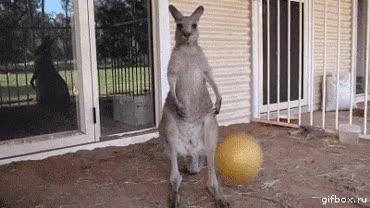 Enlace a Cuando eres un canguro y tienes que renunciar a tu sueño de ser una gran estrella de la NBA